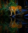 Tiger Walk 6