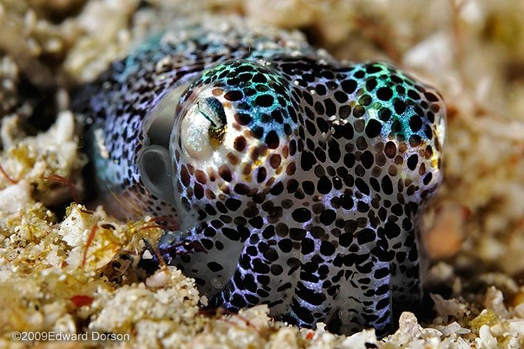 Bobtail Squid_1 - ID: 9633986 © Edward Dorson