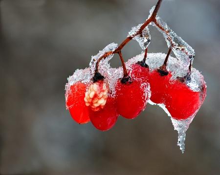 Red berries in ice rain