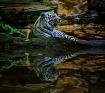 Pool-Side Tiger