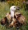 The Griffon Vultu...