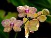 Phalaenopsis Univ...