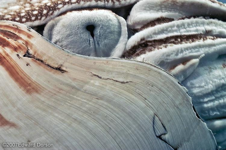 Eye of the Nautilus  - ID: 9690418 © Edward Dorson