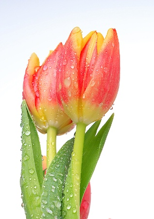 <b> Tulips</b>