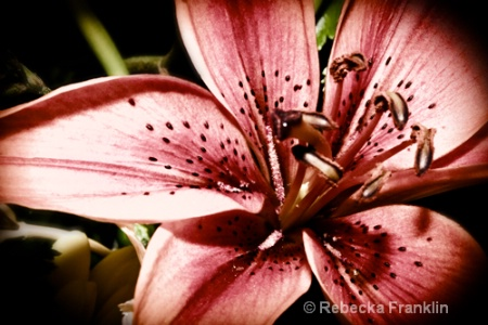 Laura's Lily