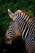 Zebra from San Di...