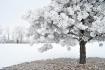SNOWBALL TREE