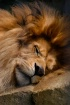 The Napping Lion