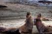 Elephant Seal Bra...
