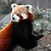 RED PANDA AT THE ...