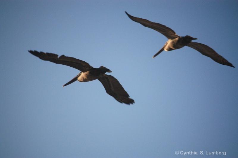 Pelican Flight. . . - ID: 9803124 © Cynthia S. Lumberg