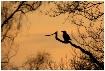 Crow silhouet