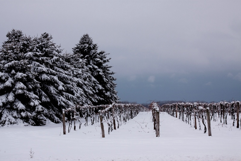 Vineyards in Winter