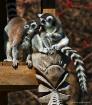 Lemur Love (SHS)