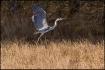 Grey heron liftin...
