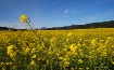 Wild Mustard In T...