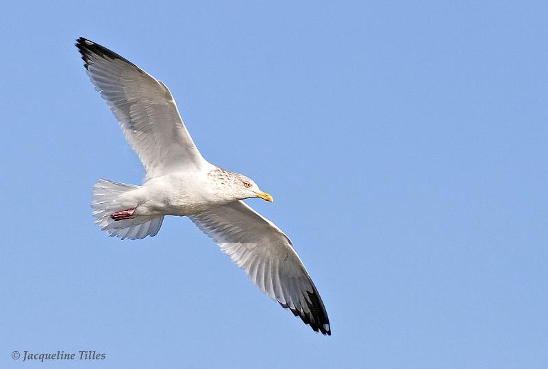 Herring Gull in Flight - ID: 9869566 © Jacqueline A. Tilles