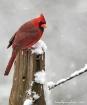 Snow Bird IV