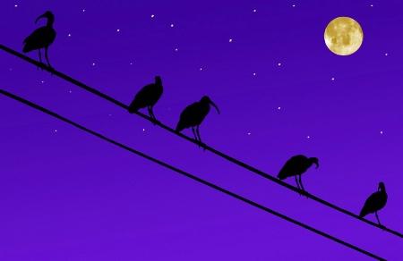 An Ibis Night