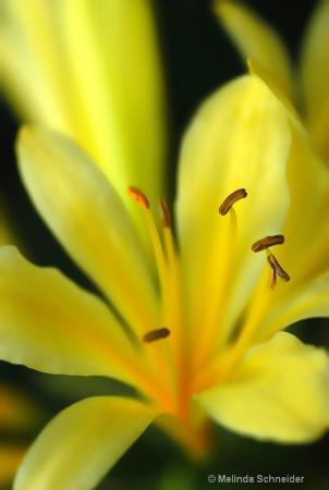 Yellow Melody