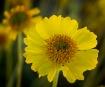 Desert Wildflower...