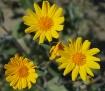 Desert Sunflowers
