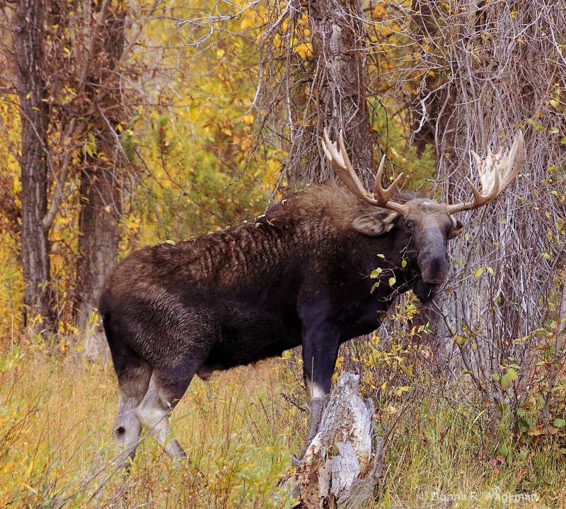 Velvet Shed on Horns and Feeding on the Willows