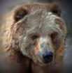 Brown Bear gettin...