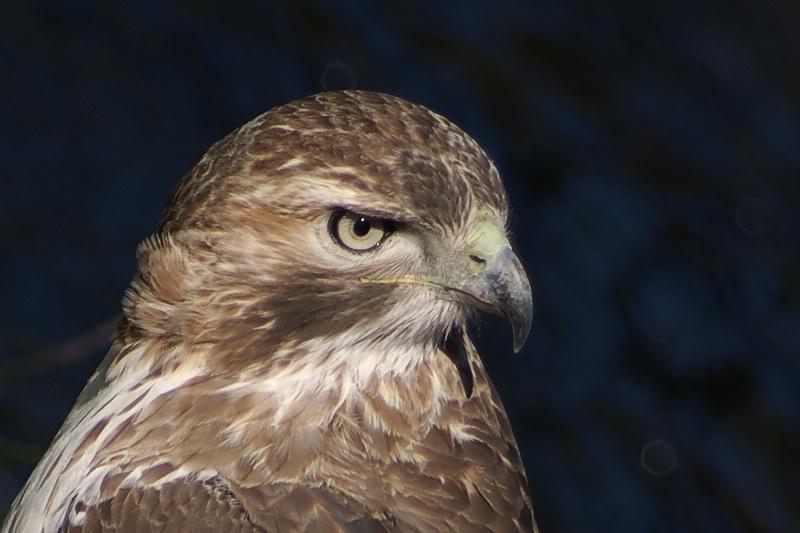 Hawk Eye - ID: 9958472 © Laurie Daily