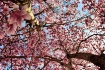 Tree Tulips
