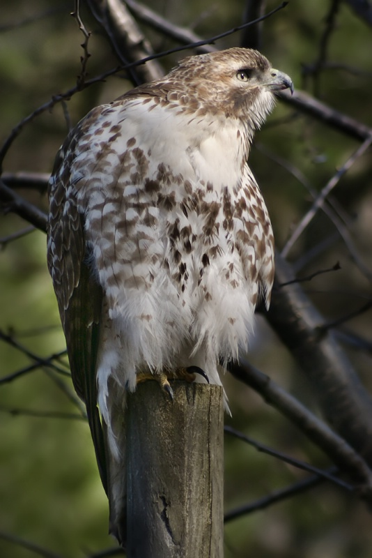 Red Tailed Hawk - ID: 9972228 © Laurie Daily