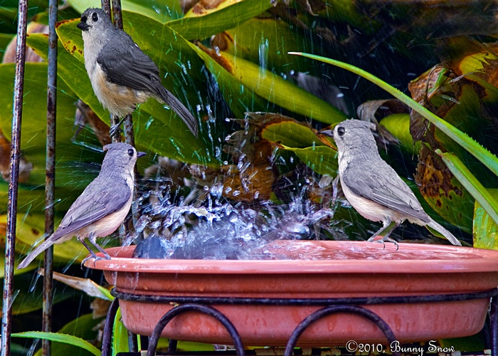 Tufted Titmouse Watering Hole
