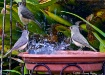 Tufted Titmouse W...