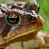 © Ron Livingston PhotoID # 9987457: When Toads Cry