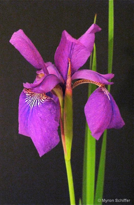 Purple Asian Iris No. 1 - ID: 10003206 © Myron Schiffer