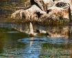 Swamp Swimmer... ...