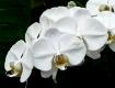 Phalaenopsis Whit...