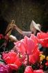 the tulip painter...