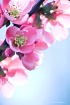 Spring Quince