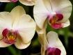 Phalaenopsis Hot ...