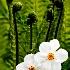 2The Daffodils are in Bloom - ID: 10087605 © Richard M. Waas