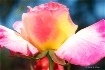 Friday Rose