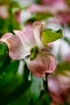 Pink Dogwood with...