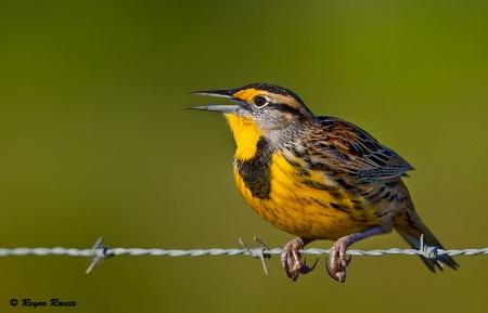 Singin' Meadowlark