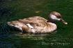 Just Duckey