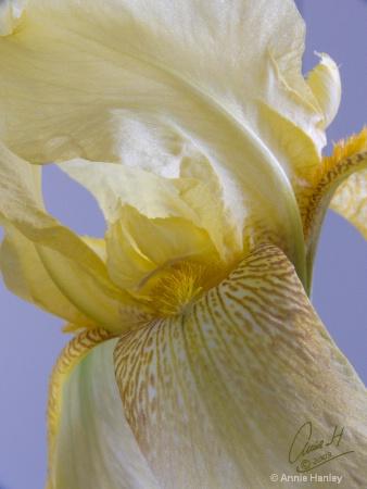 20081030 yellow iris 0310 copy