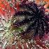 © Eloise Bartell PhotoID # 10132661: Sea Urchin