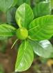 Gardenia Twirl