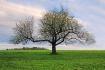 Apple Tree in Spr...
