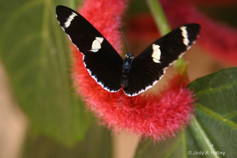 Butterfly - ID: 10168867 © Jody A. Hatley